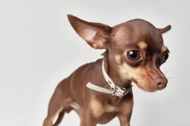 Chihuahua mammiferi amico del primo piano umano