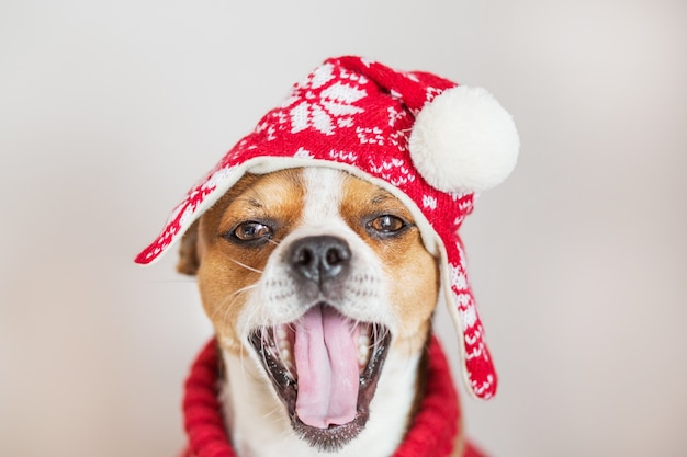 Ritratto della chihuahua in cappello di natale che sorride con la bocca aperta
