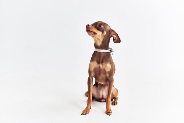 Chihuahua in posa studio sfondo chiaro