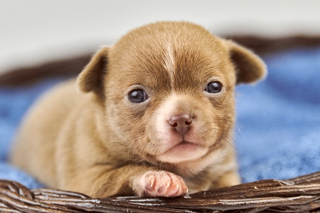 Cucciolo di chihuahua in cestino. piccola razza di cane marrone bianco carino