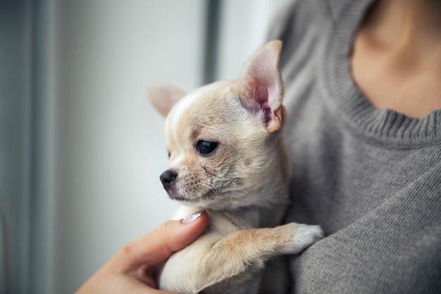 Cucciolo di chihuahua nelle mani di una ragazza con una bella manicure.