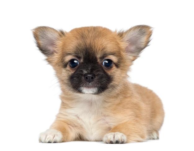 Cucciolo di chihuahua, sdraiato e di fronte, isolato