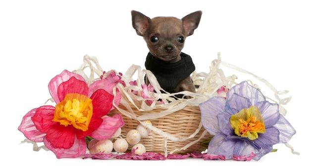 Cucciolo della chihuahua che si siede nel cestino di pasqua con i fiori
