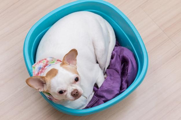 Cucciolo di chihuahua dorme nel secchio