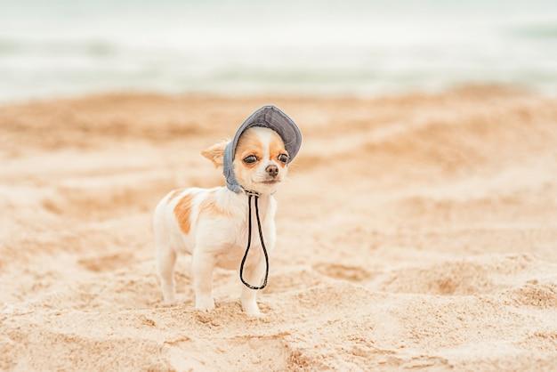 Cucciolo di chihuahua di colore bianco con un berretto da baseball in denim sul mare. cane sulla spiaggia. concetto di vacanza.