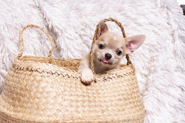 Cucciolo di chihuahua nel cesto di vimini
