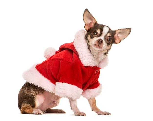 Chihuahua con una giacca di natale, isolata on white