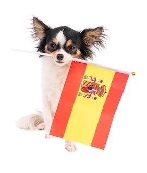 Chihuahua con una bandiera della spagna sulla superficie bianca