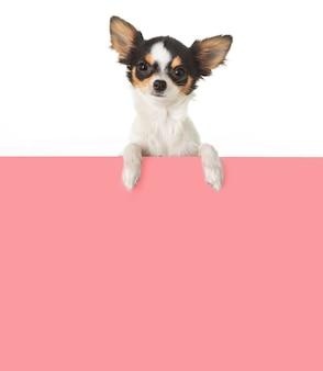 Chihuahua con un segno per scrivere un messaggio su bianco