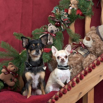 Chihuahua in posa, in decorazioni natalizie