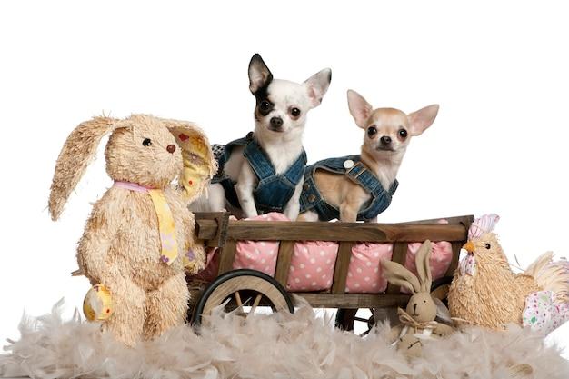 Chihuahua con indosso un denim, 1 anno e 11 mesi, seduto nel vagone del letto del cane con animali imbalsamati