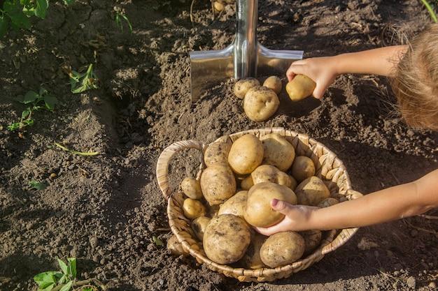 Bambino in giardino raccogliere un raccolto di patate con una pala.
