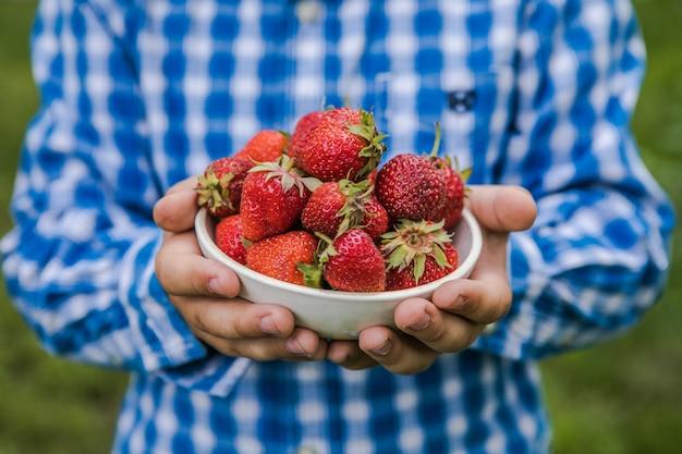 Bambino che raccoglie fragola sul campo dell'azienda agricola di frutta il giorno di estate soleggiato. i bambini tengono in mano una fragola biologica matura fresca fresh