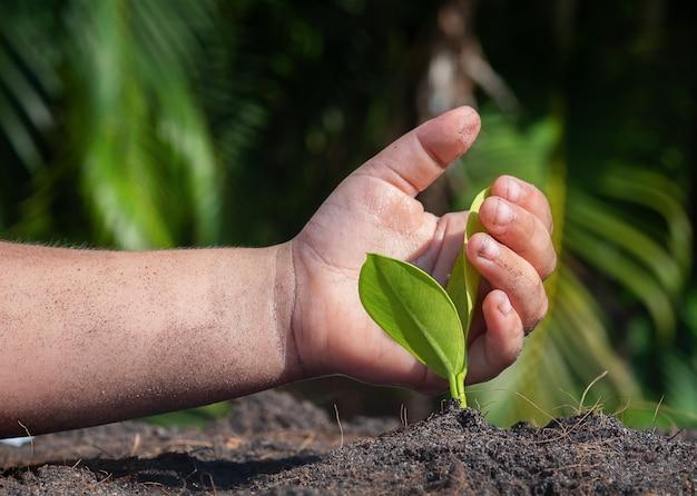La mano del bambino protegge il germoglio di ficus nel terreno.