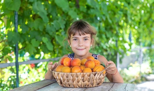 Bambino con la raccolta del giardiniere delle albicocche. messa a fuoco selettiva.