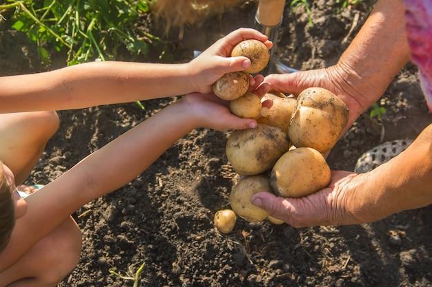 Un bambino con una nonna raccoglie un raccolto di patate.