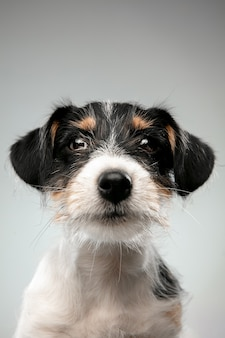 Infanzia close up jack russell terrier cagnolino in posa simpatico cagnolino giocoso o animale domestico che gioca
