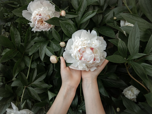 Le mani dei bambini tengono in mano un fiore di peonia bianca che cresce su un cespuglio.