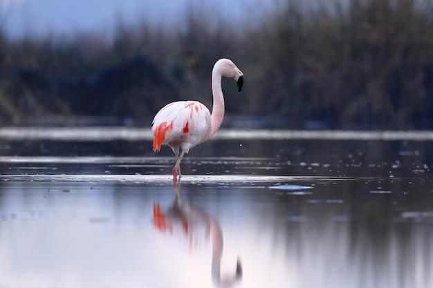 Flamingo cileno che cammina sulle rive del lago