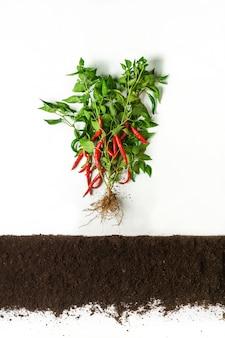 Peperoncino dal suolo, sezione trasversale, collage di ritaglio. pianta vegetale sana con foglie isolate. agricoltura, botanica e concetto di agricoltura