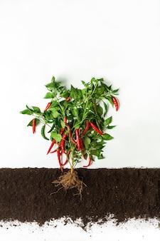 Il peperoncino cresce nel terreno, sezione trasversale, collage di ritaglio. pianta vegetale sana con foglie isolate. agricoltura, botanica e concetto di agricoltura