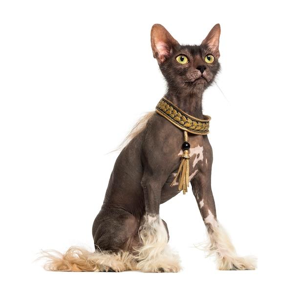 Chimera con un cane crestato cinese con la testa di un gatto lykoi su sfondo bianco
