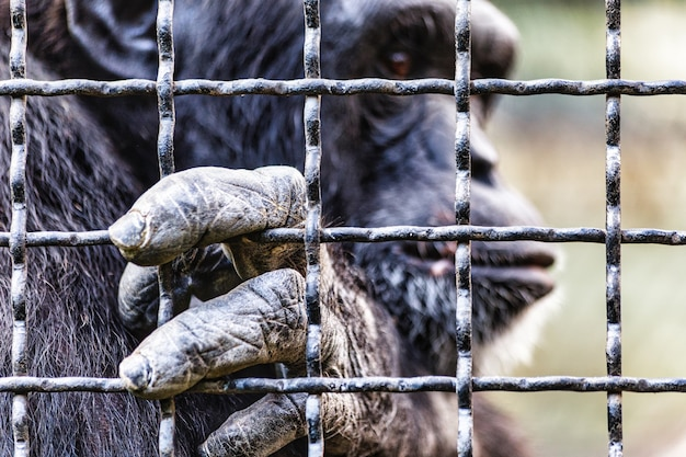 Scimpanzé in cattività nella gabbia dello zoo