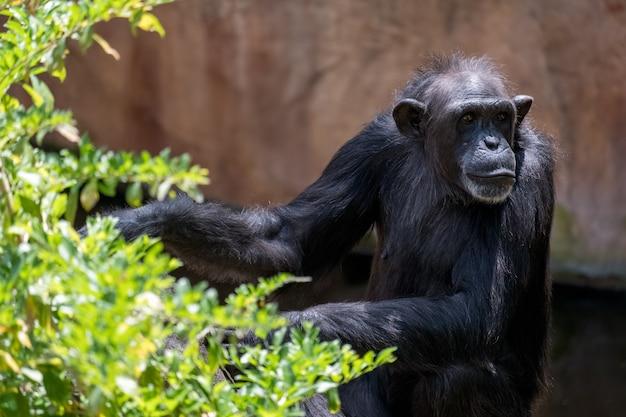 Scimpanzé che riposa nel bioparco fuengirola