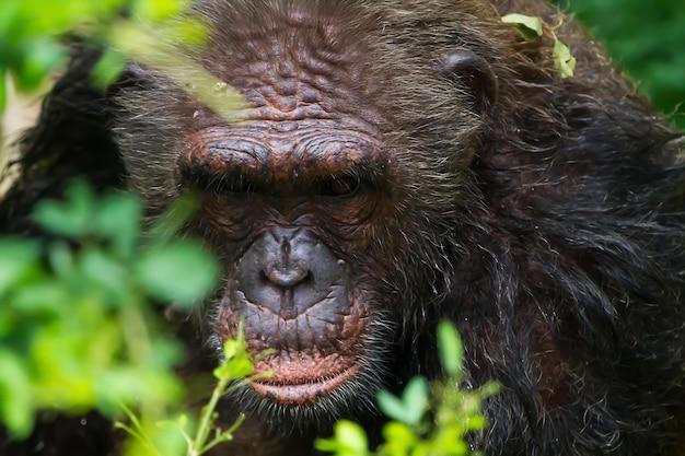 Scimpanzé seduto su un albero nella foresta.