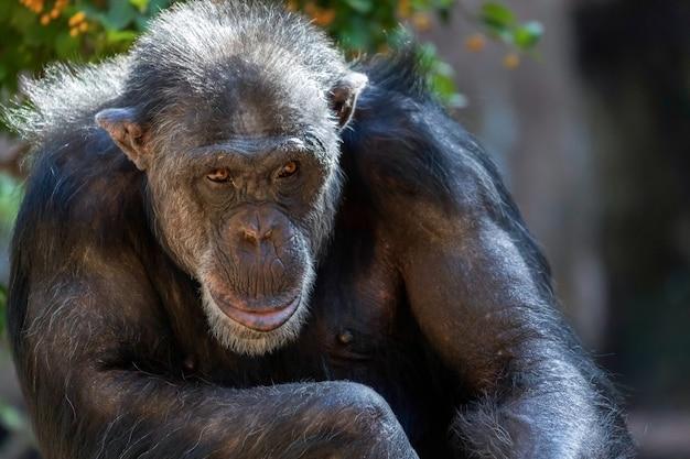 Scimpanzé seduto in uno zoo