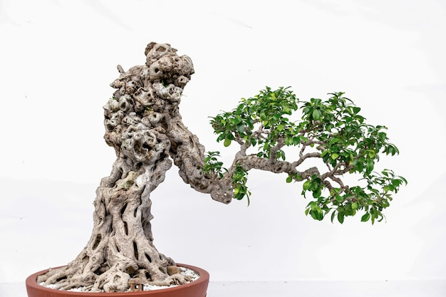 Bonsai di arte cinese su sfondo bianco