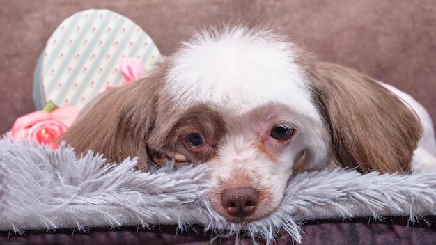 Un cane crestato cinese è sdraiato su un tappeto grigio. primo piano di una testa di cane bianco con orecchie marroni, vista frontale