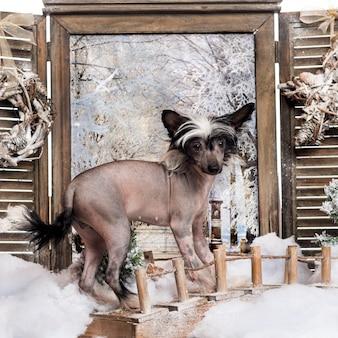 Cucciolo di cane crestato cinese in piedi su un ponte in uno scenario invernale