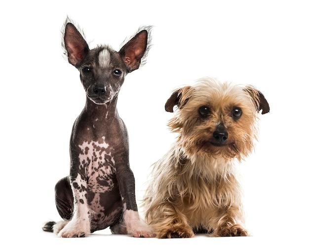 Cucciolo di cane crestato cinese e yorkshire terrier seduto davanti a un muro bianco