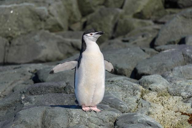Pinguino sottogola sulla spiaggia in antartide