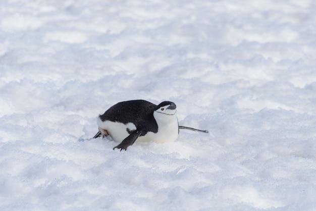 Pinguino sottogola che striscia sulla neve