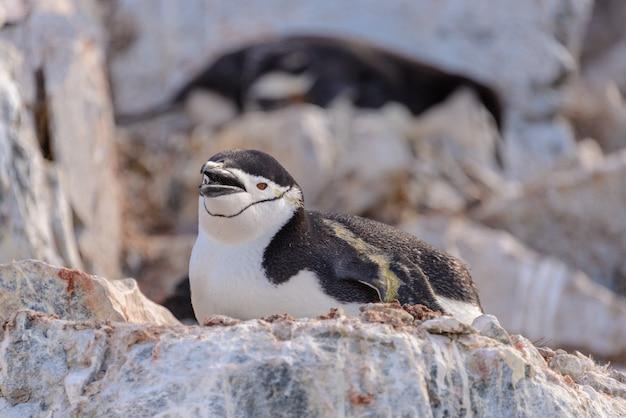 Pinguino sottogola posa sulla roccia in antartide