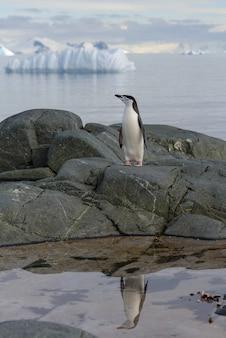 Pinguino sottogola sulla roccia con la riflessione in antartide