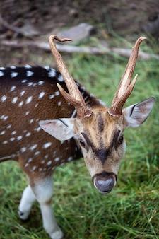 Chital, cheetal, cervo maculato, cervo axis, parco nazionale in thailandia