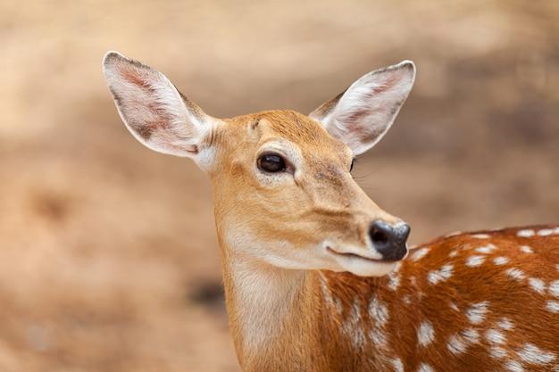 Chital, cheetal, cervo maculato, cervo dell'asse, parco nazionale in thailandia.