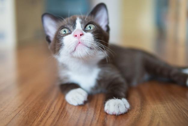 Il gatto marrone cioccolato con la maschera bianca sta esaminando qualcosa sul soffitto nel concetto di speranza futura