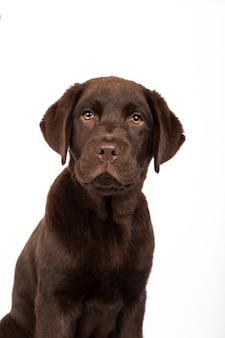 Un cucciolo di labrador del cioccolato di tre mesi che esamina macchina fotografica sull'immagine isolata fondo bianco