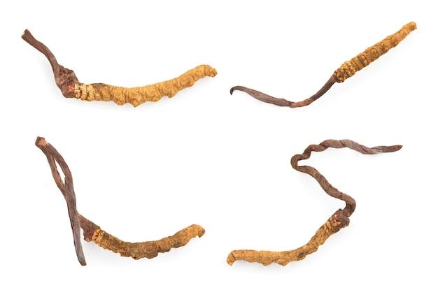 Chong cao o cordyceps sinensis isolato su sfondo bianco con tracciato di ritaglio.vista dall'alto,piatta.