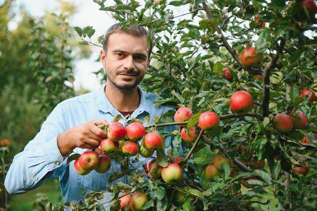 Scegliere le mele migliori. felice giovane agricoltore che allunga la mano alla mela matura e sorride mentre si trova in giardino
