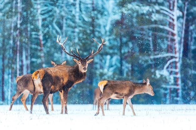 Fiaba di natale. paesaggio faunistico invernale con cervi nobili. immagine artistica della natura di natale di inverno. molti cervi in inverno.
