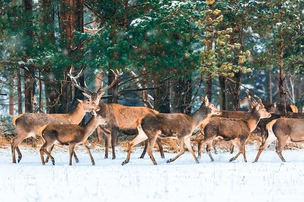 Fiaba di natale. paesaggio invernale della fauna selvatica con cervi nobili durante la tempesta di neve. immagine artistica della natura di natale di inverno. molti cervi in inverno.