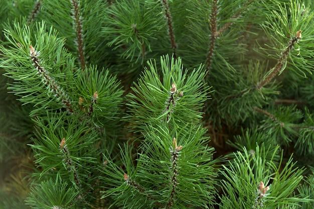 Rami di albero verde di natale
