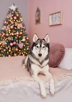Cane husky di natale. concetto di hotel per animali. anno nuovo cucciolo