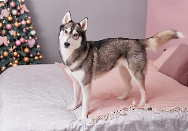 Cane husky di natale. concetto di hotel per animali.