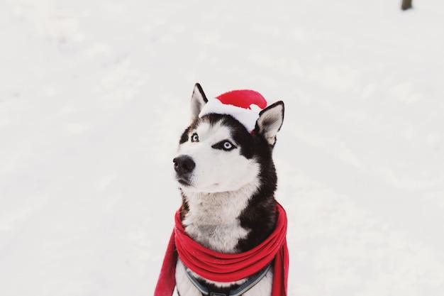 Cane husky di natale in sciarpa rossa abbigliamento cappello di babbo natale nella foresta innevata